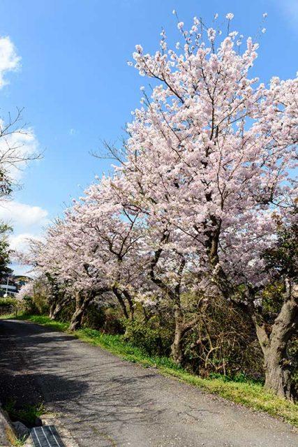 頭島の桜並木